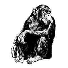 Hand drawing of chimpanzees. Vector Illustration