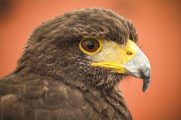 Black eagle head, european bird