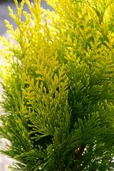 cypress - Chamaecyparis lawsoniana Golden Wonder