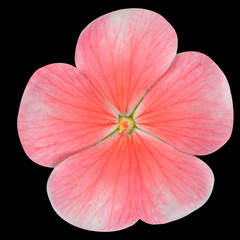 Pink Periwinkle Flower Isolated on Black