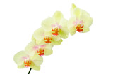 Pastel colored yellow green orchids flower