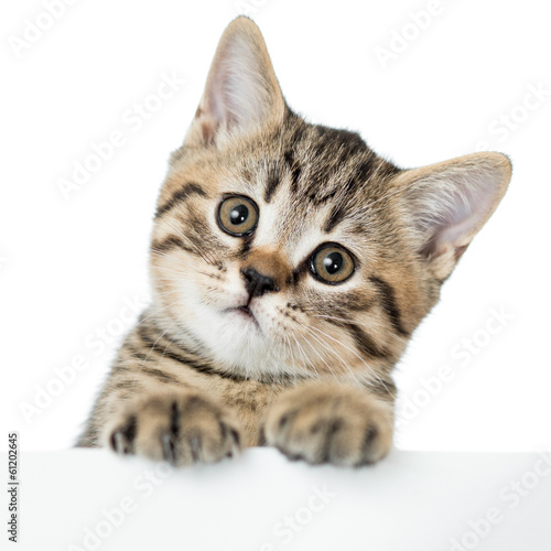cat kitten peeking out of a blank placard, isolated on white bac