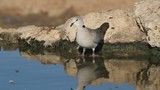 Cape turtle dove drinking water, Kalahari