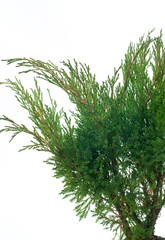 Juniperus sabina Hicksii