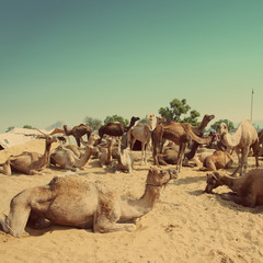Pushkar Camel Fair - vintage retro style