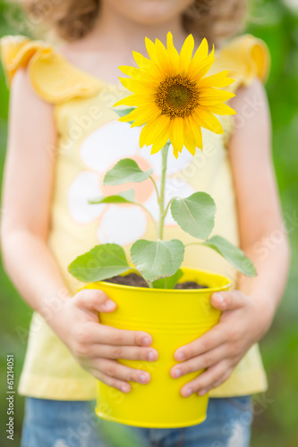 Sunflower in metal bucket