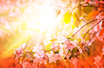 Cherry blossoms over blurred nature background/ Spring flowers