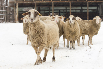 Sheep on snow