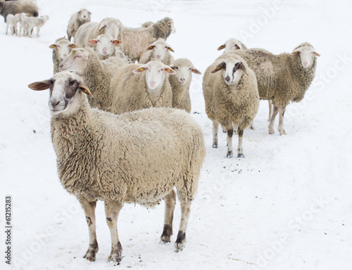 Deurstickers Schapen Sheep on snow