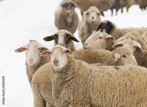 Papiers peints Sheep Sheep herd