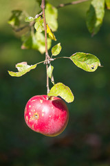 Single red apple on tree