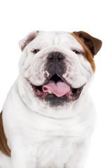 english bulldog dog smiles