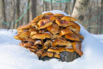 Wild enokitake or golden needle mushroom (Flammulina velutipes)