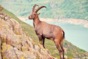Wilder Steinbock posiert in den Schweizer Alpen