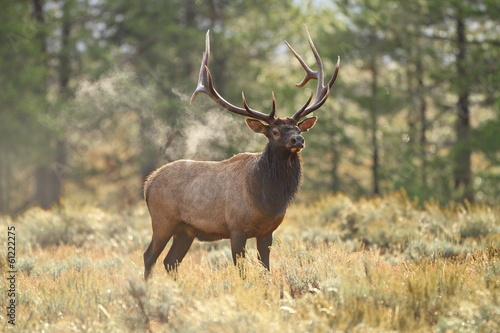 Smoking Elk