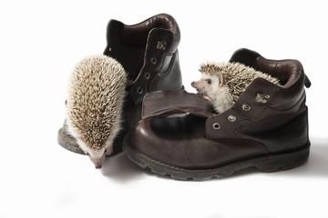 Hedgehog in shoes
