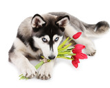 Beautiful cute husky puppy with flowers, isolated on white
