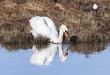 Mute Swan at a lake