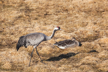 Common Crane and Greylag Goose