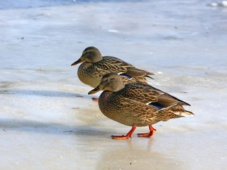 Дикие утки гуляют на льду.
