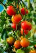 Tomaten im Treibhaus