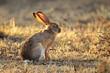 Scrub hare (Lepus saxatilis)