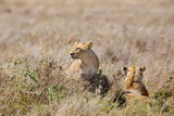 Lions pride in great plains of Serengeti
