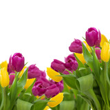 yellow and violet tulips