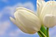 Białe tulipany na tle nieba