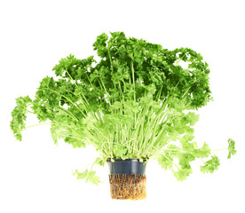 Fresh green parsley isolated