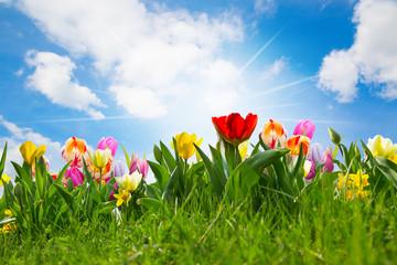 fototapeta pole tulipanów wielkanocnych