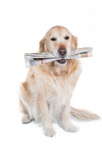 Golden Retriever with a newspaper