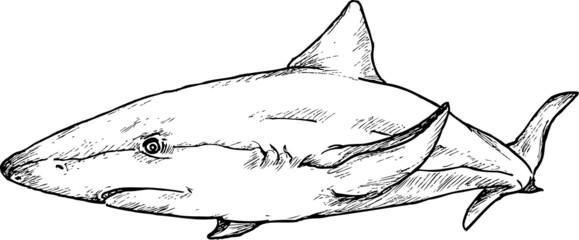 hand drawn shark