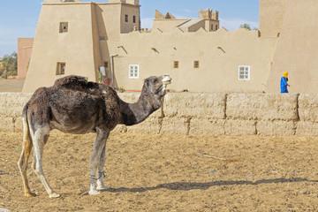 Dromedar vor einem Haus in Marokko