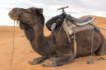 Dromedar in der marokkanischen Wüste