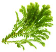 Selaginella, florist tropical moss