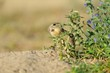 European ground squirrel in the flowers