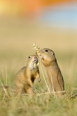 Two european ground squirrel with ear of avena
