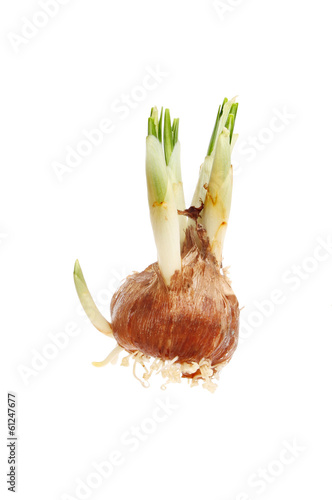 Sprouting crocus bulb