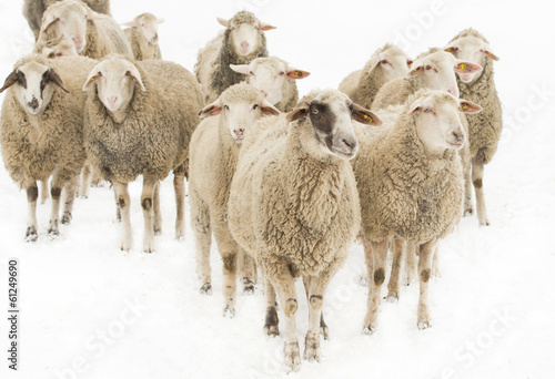 Canvas Schapen Sheep herd