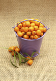 Harvest of sea-buckthorn in purple bucket