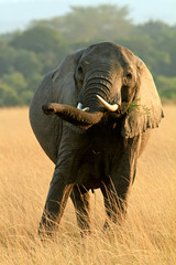 Elephant Grazing on the Masai Mara in Kenya