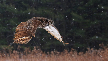 Speaking Great Horned Owl in Flight