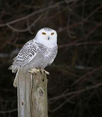 Snowy Owl on a Post