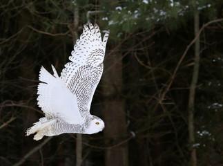 A Snowy Owl (Bubo scandiacus)