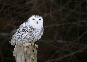 Stationary Snowy Owl