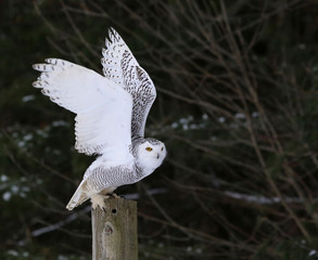 Snowy Owl Flapping it's Wings