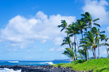Coconut Palm tree on the  beach in Hawaii