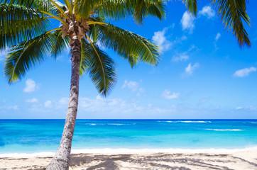 Coconut Palm tree on the sandy beach in Hawaii