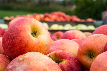 Freshly Picked Apples Detail